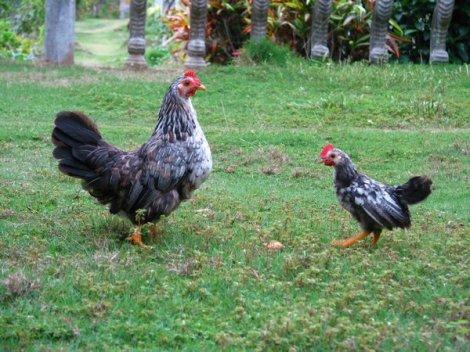 pecking order at work